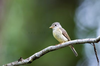 Yellow-legged Flycatcher.