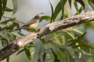 Yellow-legged Flycatcher (Microeca griseoceps kempi)