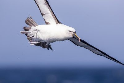 Yellow-nosed Albatross - Close Up