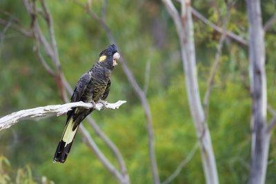 Yellow-tailed Black-cockatoo - Female (Calyptorhynchus funereus xanthanotus)