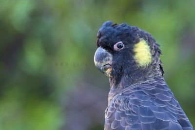 Yellow-tailed Black-cockatoo - Male Portrait (Calyptorhynchus funereus xanthanotus)