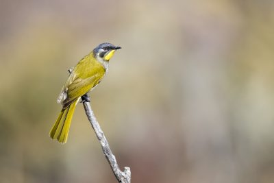 Yellow-throated Honeyeater (Nesoptilotis flavicollis).