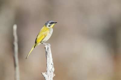 Yellow-throated Honeyeater (Nesoptilotis flavicollis)1