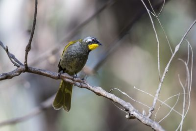 Yellow-throated Honeyeater (Nesoptilotis flavicollis)2