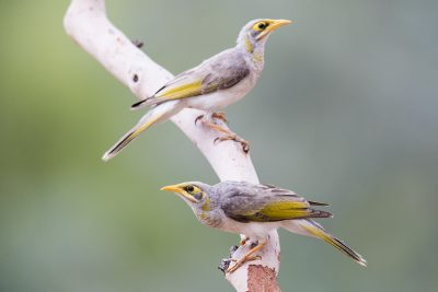 Yellow-throated Miner (Manorina flavigula)