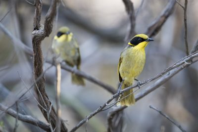 Yellow-tufted (Helmeted) Honeyeater (Lichenostomus melanops)