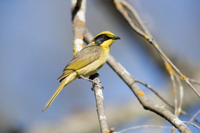 Yellow-tufted Honeyeater (Lichenostomus Melanops Melanops) - Capertee Valley, NSW