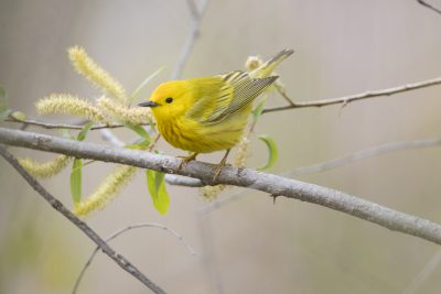 Yellow Warbler (Setophaga petechia)2