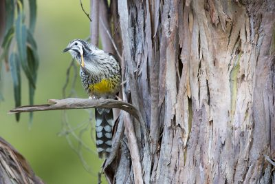 Yellow Wattlebird (Anthochaera paradoxa).