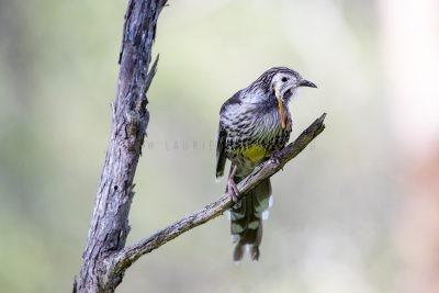 Yellow Wattlebird - Male