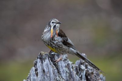 Yellow Wattlebird - Male (Anthochaera paradoxa paradoxa)