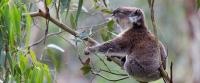 koala-front