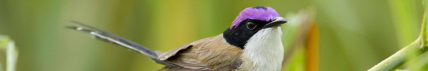 Purple Crowned Fairy Wren - Victoria River (9) (1)