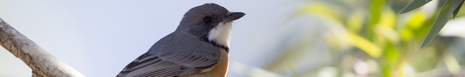 Rufous Whistler (Male)1