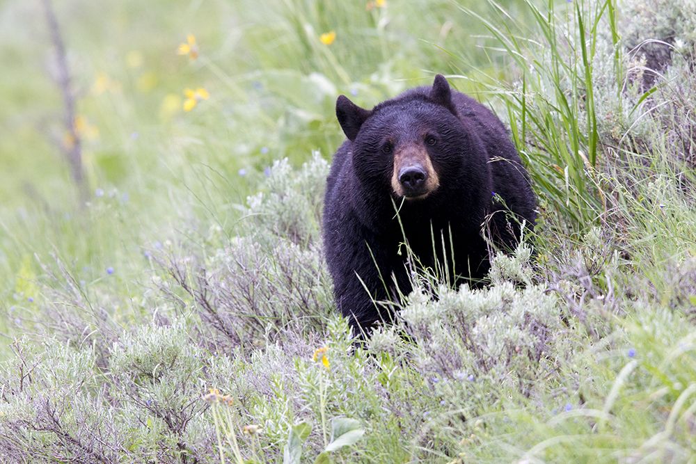 Black Bear Stare- Yellowstone National Park, Wyoming