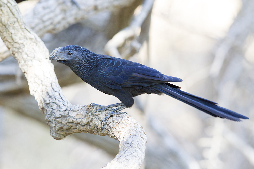 Grooved-billed Ani.