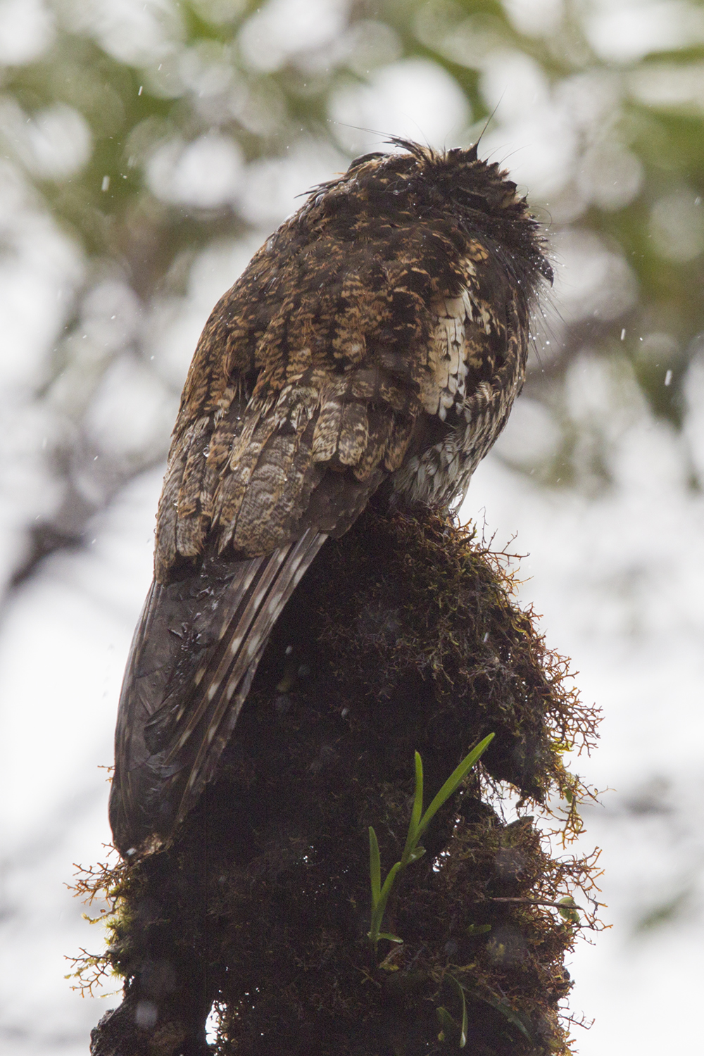 Andean Potoo6520