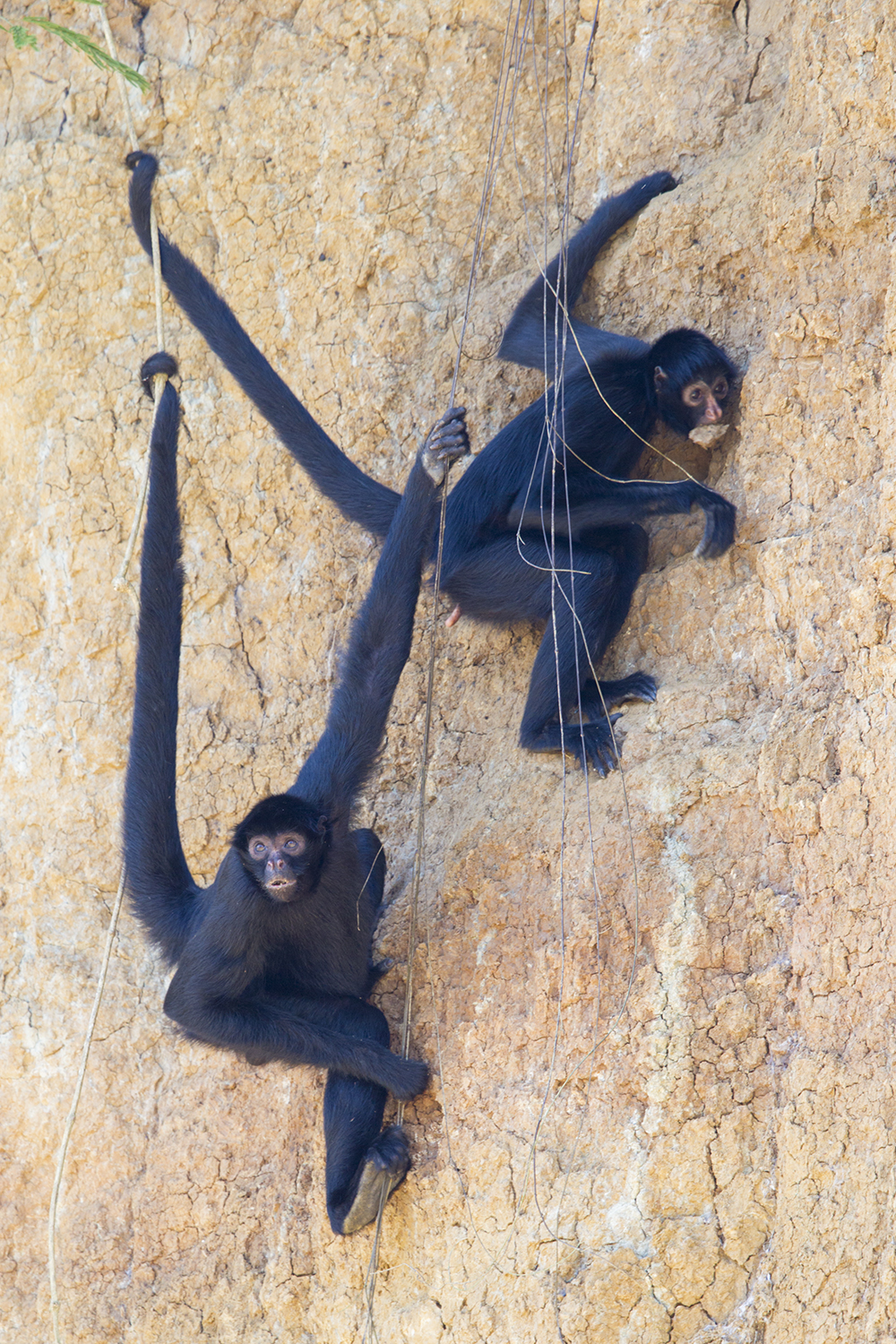 Black Spider Monkey6051