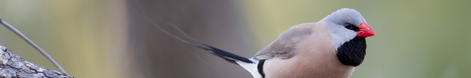 Long-tailed Finch copy