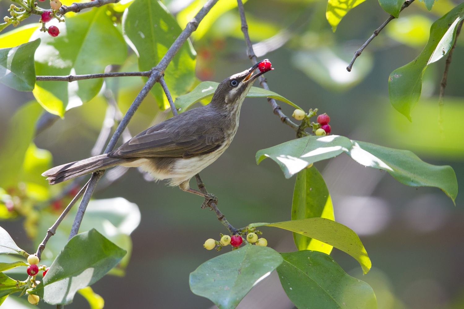 Kimberley Honeyeater (Eating)
