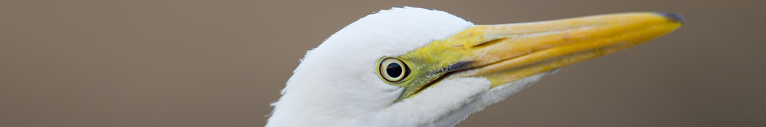 Great Egret (Profile)