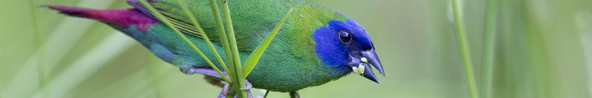 Blue-faced Parrot Finch (Male).