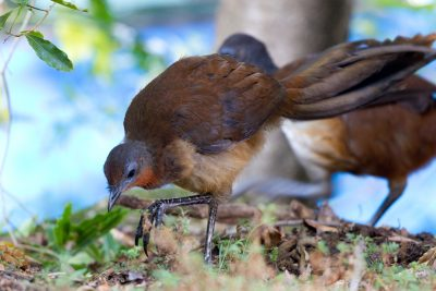 Albert's Lyrebird (Menura alberti) - Lammington National Park, QLD