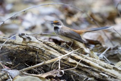 Arafura Rufous Fantail (Rhipidura rufifrons dryas) - Cooinda Lodge, NT
