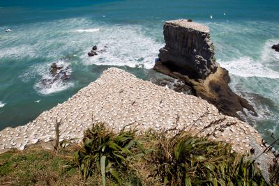Australasian Gannet Colony - Northland, New Zealand