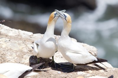Australasian Gannet - Northland, New Zealand