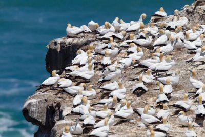 Australasian Gannet - Northland, New Zealand