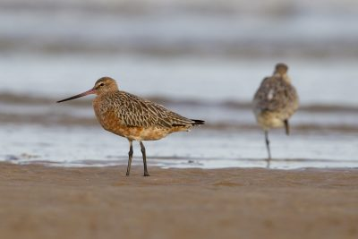 Bar-tailed Godwit (Limosa lapponica) - Sandy Creek, NT