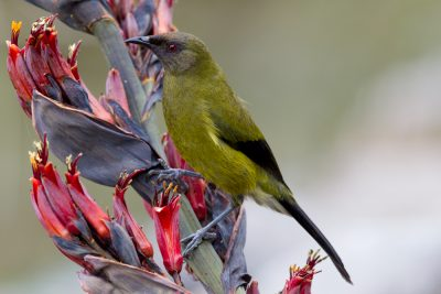 Bellbird - South Island, New Zealand