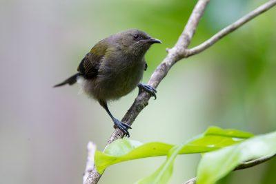 Bellbird (Female)  - Titititi Matungi Island, NZ