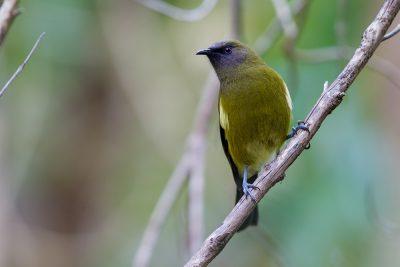 Bellbird  - Titititi Matungi Island, NZ