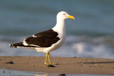 Black-backed Gull (Profile) - Northland, New Zealand