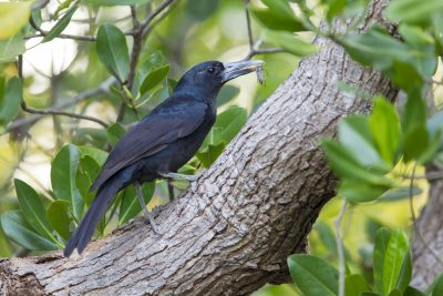 Black Butcherbird (Cracticus quoyi spaldingi) - East Point Boardwalk, NT