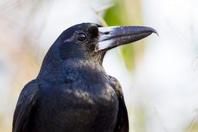 Black Butcherbird (Cracticus quoyi spaldingi) - East Point, NT