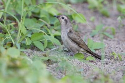 Black-eared Cuckoo (Chalcites osculans) - Casuarina Coastal Reserve, NT (2)
