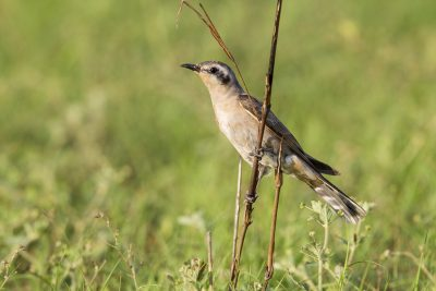 Black-eared Cuckoo (Chalcites osculans) - Casuarina Coastal Reserve, NT