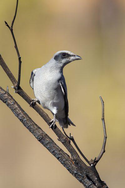 Black-faced Cuckoo-shrike (Coracina novaehollandiae melanops) - Katherine, NT
