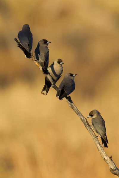 Black Faced Woodswallow (Artamus cinereus melanops) - Buntine Highway, NT