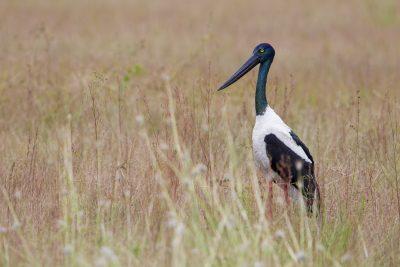 Black-necked Stork Ephippiorhynchus asiaticus australis) - Adelaide River, NT