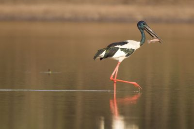 Black-necked Stork Ephippiorhynchus asiaticus australis) - Bird Billabong, NT