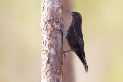 Black-tailed Treecreeper (Juv - Climacteris melanura melanura) - Marrakai Track, NT