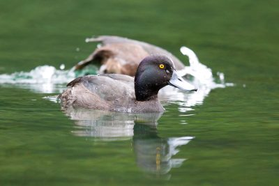Black Teal (Scaup) - South Island, New Zealand