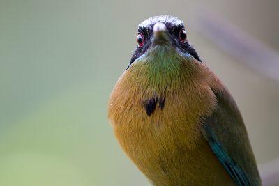 Blue-crowned Motmot (Profile)