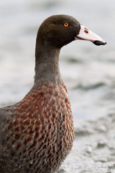 Blue Duck (Male) - Turangi, New Zealand