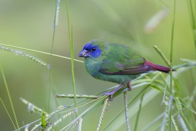 Blue Faced Parrot Finch (Female - Erythrura trichroa macgillivrayi) - Mt Lewis, QLD
