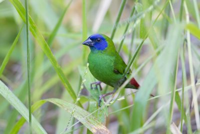 Blue Faced Parrot Finch (Male - Erythrura trichroa macgillivrayi) - Mt Lewis, QLD (4)